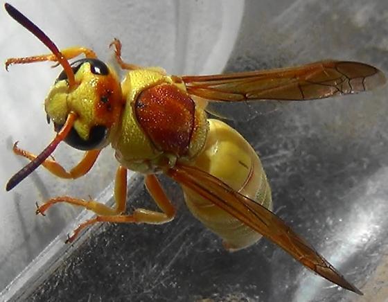 Western Subspecies Potter Wasp - Euodynerus annulatus - female