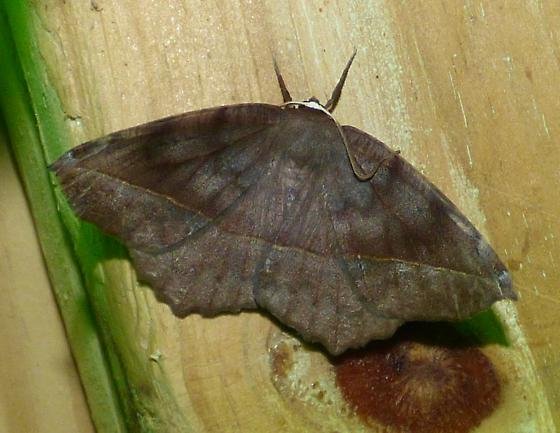 Curve-toothed Geometer - Eutrapela clemataria - - Eutrapela clemataria