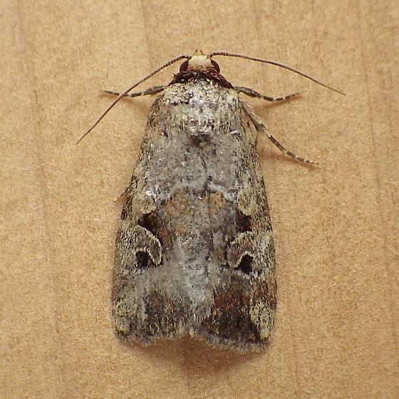 Noctuidae: Elaphria alapalida - Elaphria alapallida
