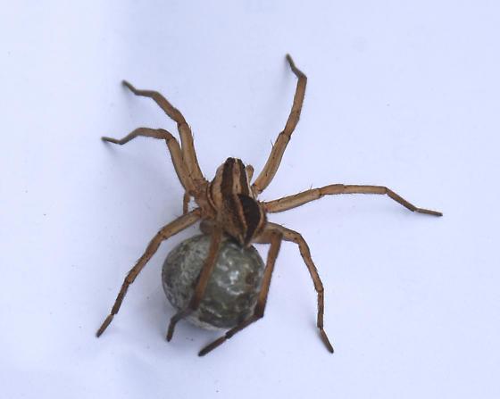 Spider - Rabidosa