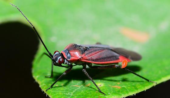 mite on bug - Lopidea