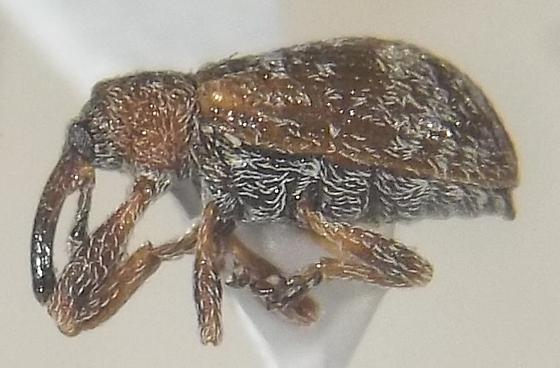 Anthonomopsis mixtus LeConte - Anthonomopsis mixta