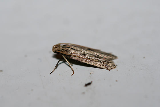 Unknown Moth - Spinitibia hodgesi