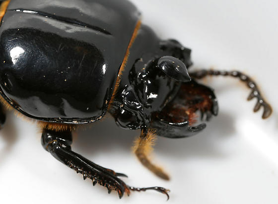 Horned Passalus--head, pronotum - Odontotaenius disjunctus - male