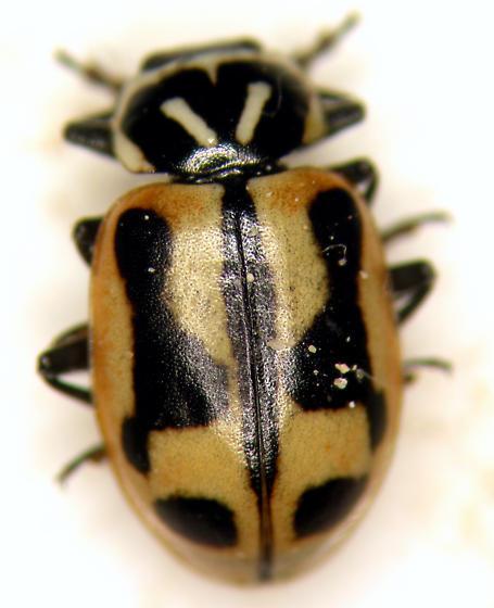 Sinuate Lady Beetle - Hippodamia sinuata