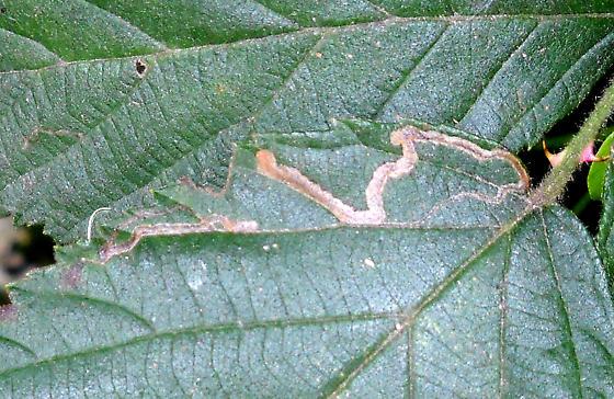 Rubus Leaf Mine ID Request - Stigmella villosella