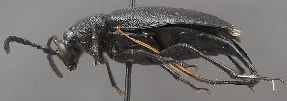 Pygoleptura brevicornis