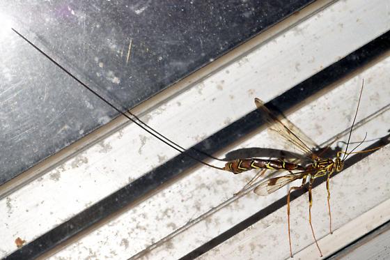 giant ichneumon - Megarhyssa macrurus - female