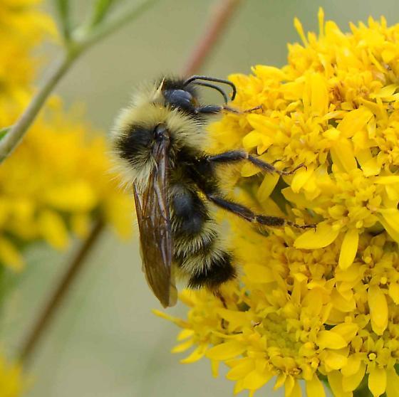 Bombus for ID - Bombus fernaldae - male