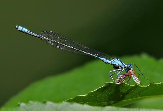 Slender Bluet? - Enallagma traviatum - male