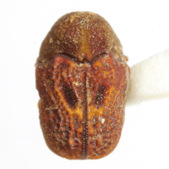 Chlamisus texanus (Schaeffer) - Chlamisus texanus
