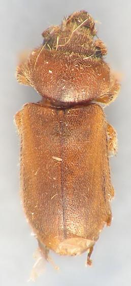 Tropicus pusillus