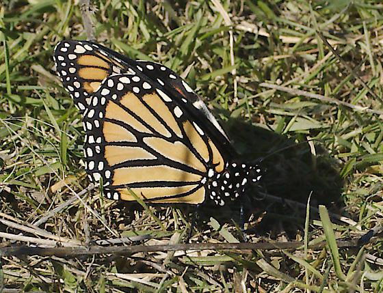 Monarch Central Texas January - Danaus plexippus