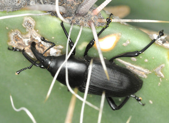Large weevil on cactus - Cactophagus spinolae