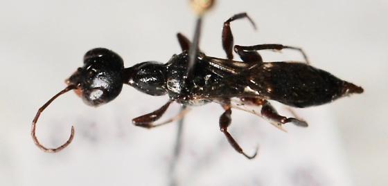 Ampulex species - Ampulex