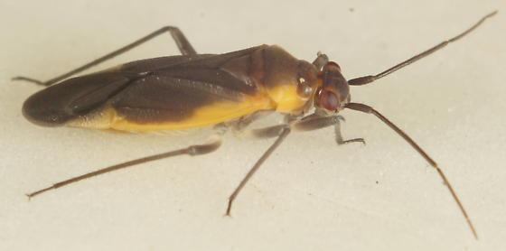 Unknown Miridae - Lopidea