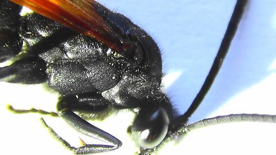 Tarantula Hawk Body Scan - Hemipepsis ustulata - male