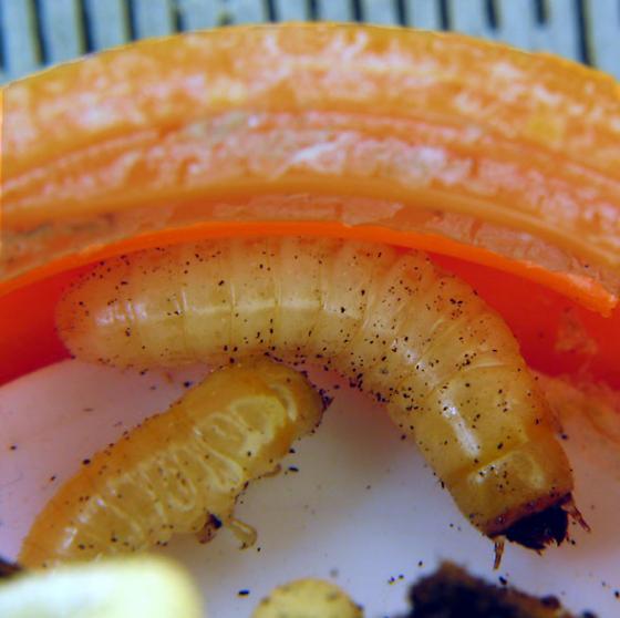 Old shelf fungus larvae - Bolitotherus cornutus