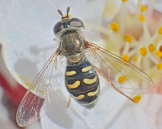 Fly ~7mm - Eupeodes volucris