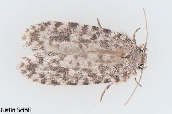Moth - Tiquadra inscitella
