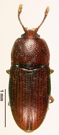 Philothermus stephani
