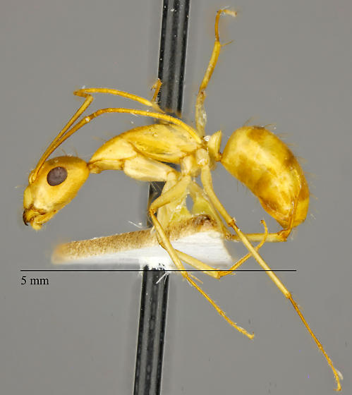 Unknown Formicidae - Camponotus