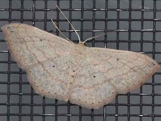 Moth - Scopula umbilicata