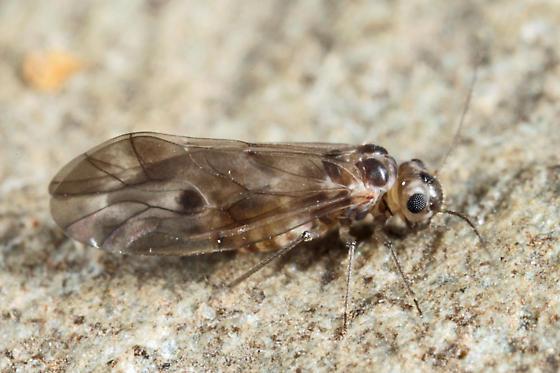 Barklouse - Peripsocus subfasciatus