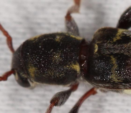 cerambycid, perhaps Xylotrechus colonus - Xylotrechus colonus