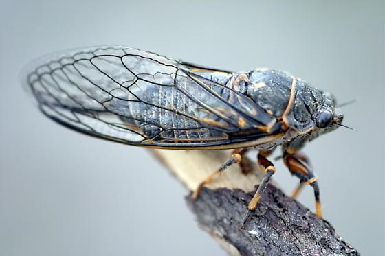Cicada - two different ones - Okanagana occidentalis
