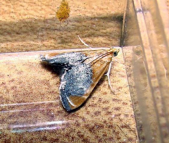Interesting Moth 204 - Chalcoela iphitalis