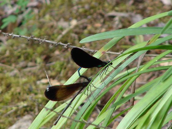 Elbony Jewelwing Damselfly - Calopteryx maculata - male - female