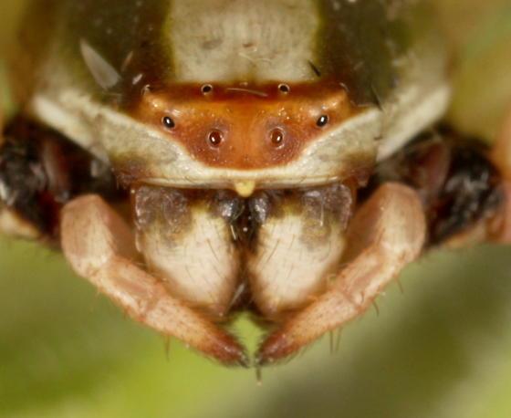 Misumenoides formosipes - female