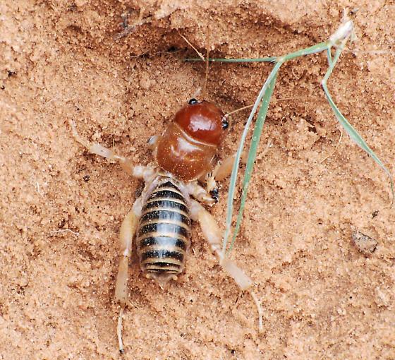 Utah Mystery Bug - Ammopelmatus