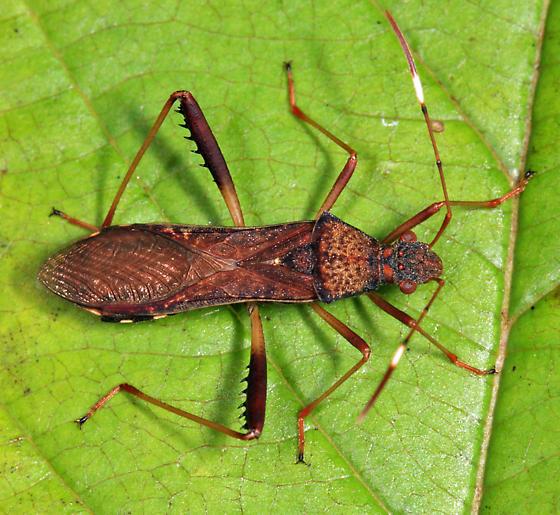 Lupine Bug - Megalotomus quinquespinosus