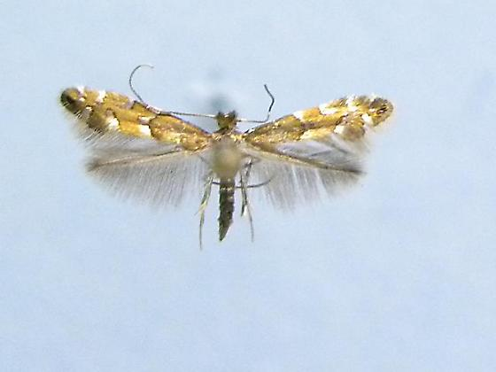 Phyllonorycter memorabilis