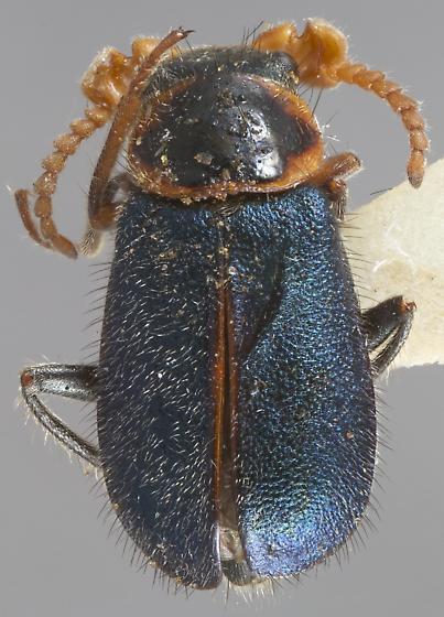 Collops necopinus - male