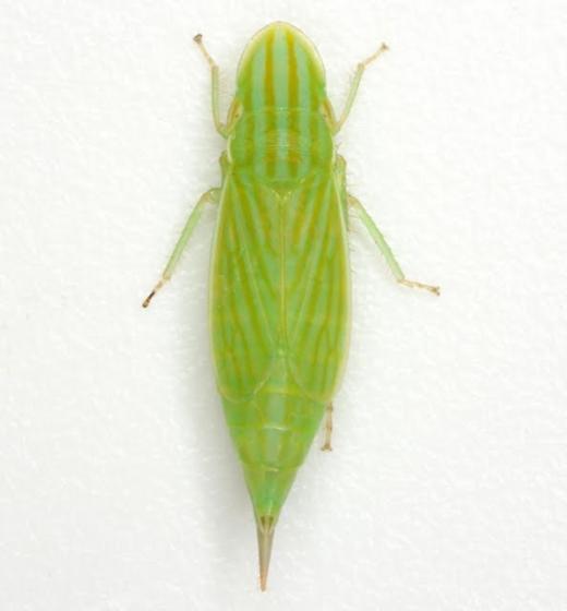 Neohecalus magnificus Hamilton - Neohecalus magnificus - female