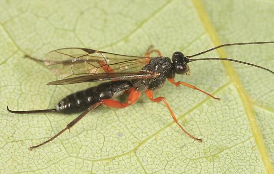 Ichneumon - Cylloceria - female