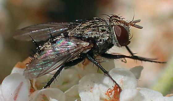Fly - Chetogena
