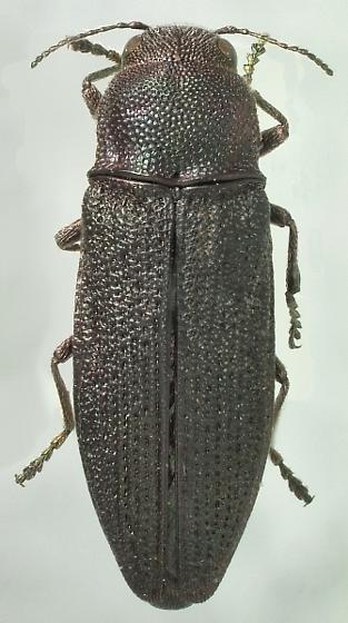 Beerellus taxodii Nelson - Beerellus taxodii - female