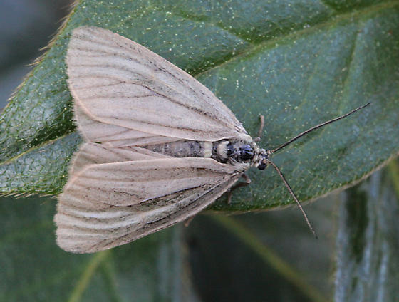 Veined moth - Phryganidia californica - female