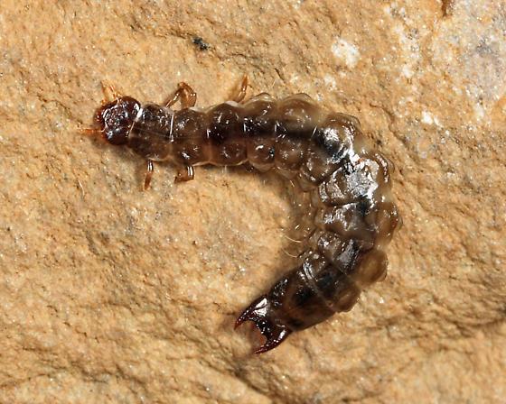 Borid larva - Boros unicolor