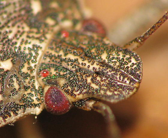 COOL! Stink bug head with shiny green bumps. - Halyomorpha