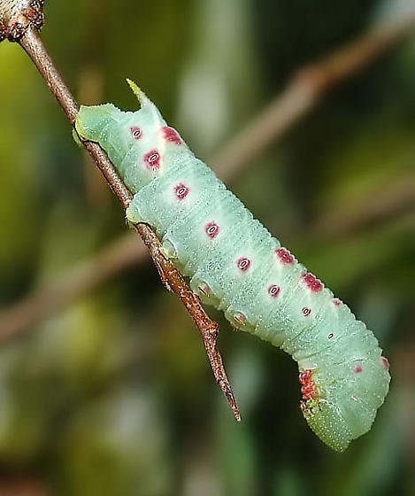 Green and Red Caterpillar - Paonias myops