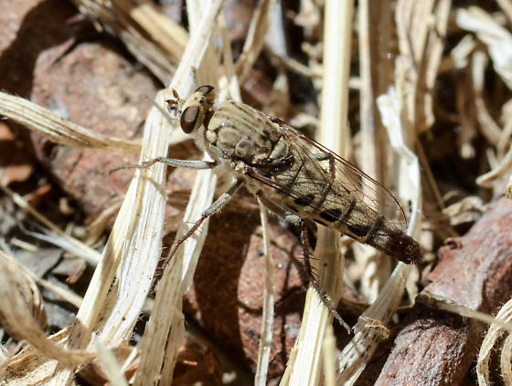 Robberfly - Apiocera