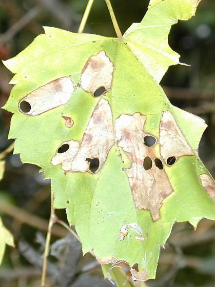 leafminer/cutter - Antispila cf-isabella