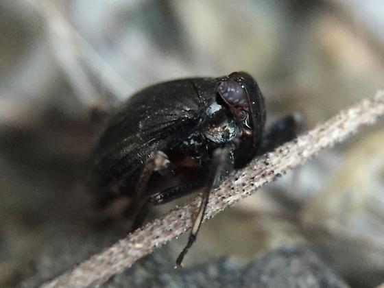 2-3mm bug that makes big hops - Phylloscelis atra