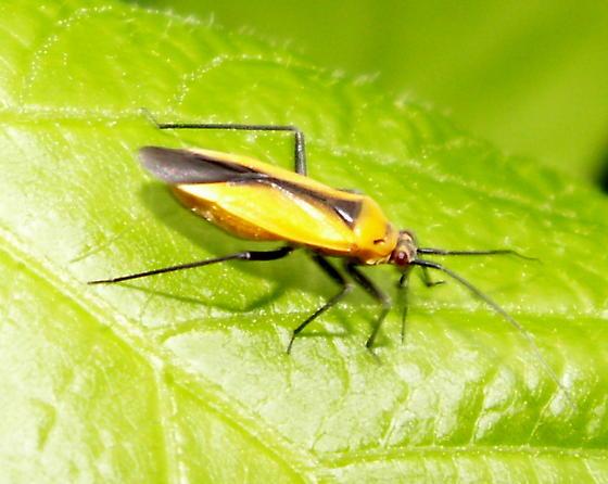 Plant Bug - Lopidea