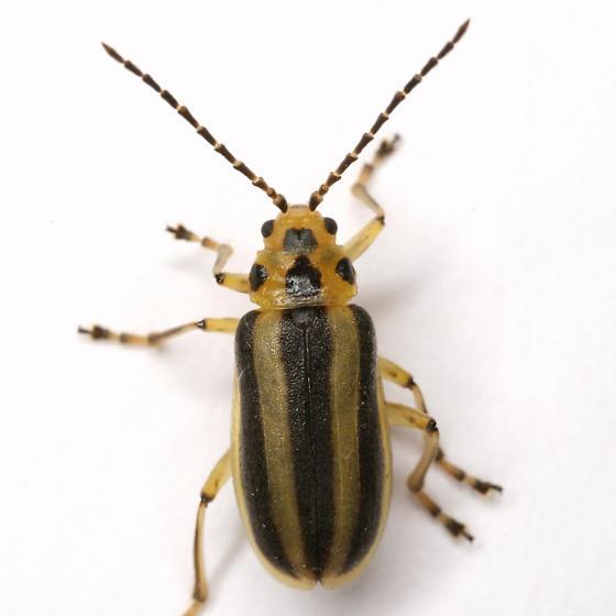 Trirhabda virgata or canadensis - Trirhabda
